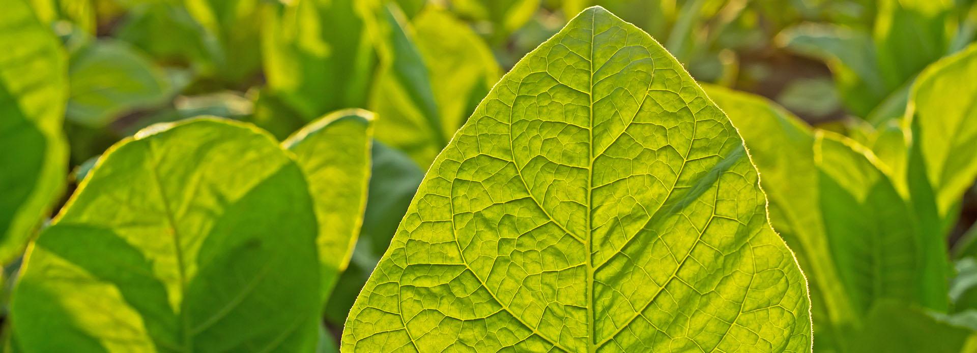 tobacco-leaf